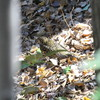 ニシオジロビタキ・トラツグミ・ミヤマホオジロ・ウミアイサ(大阪城野鳥探鳥 2017/01/28 6:35-13:55)