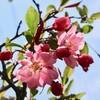 「佐久の季節便り」、「花海棠」、「在来種・サクラソウ(桜草)」も咲き始め…。