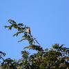 手賀沼湖畔の木の上で高鳴きするモズのメス