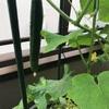ベランダ菜園のススメ