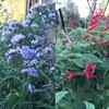 ヒガンバナを食べるハマオモトヨトウを発見.しかし,ヒガンバナは,葉がない状態でどうやって開花時期を知るのでしょうか?秋の花は,「次第に短日になる」ことを察知して花成ホルモン・フロリゲン(FTタンパク質)が誘導され,葉から茎に移動---.ヒガンバナには当てはまりませんね.「球根内部で花芽形成.土の温度を感知」「バーナリゼーションも必要」なことは分かってものの,フロリゲンの関与の仕方等,不明なことも多いようです.