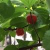 今年の山桜桃梅