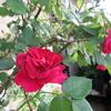 小さな庭のバラ  Ⅳ