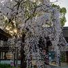 平野神社の魁桜🌸