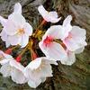 夜勤明け、自宅近所の大年神社で花見