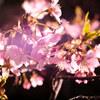 一足早く咲いている桜を、ストロボで艶っぽく撮ってみた