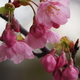 ベランダの「陽光桜」も開花しました(笑)