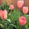 【チューリップ開花】ベランダで楽しむお花見2020
