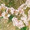 【日記】お花見〜大濠公園・舞鶴公園〜