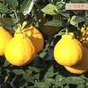 デコポン収穫祭