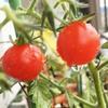ベランダガーデン トマト