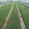 タマネギ育苗 播種後20日