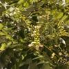 ローかストの花と実