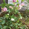 放ったらかしの庭に、力強く咲くクリスマスローズ!!