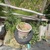 サツマイモを育てよう 花を残して刈った雑草 Growing sweet potatoes