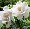 クチナシの花は白く、甘い香りを漂わせて雨に咲く。