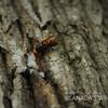 オオスズメバチ女王の樹液採取