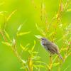 🐦野鳥の回【71】ウグイスのいる風景