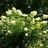ミモザ・ガーデンの日記ーミナヅキの花