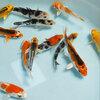 錦鯉Mix (S) ニシキゴイ 鯉 色鯉 10〜13cm前後 5匹 生体 川魚 【2点以上5000円以上ご購入で送料無料】
