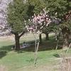 カラーネガPRO400Hで桜を撮る