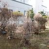 冬囲いの撤去と福寿草の増殖