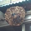 袋井市で軒下にできたスズメバチの巣を駆除してきました!