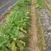 アブラナ科にとってはつらい季節となりました(21春ダイコン、21コールラビ)