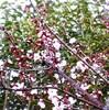 帰ると杏子の花が咲いていた