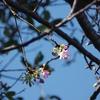 「河津桜」が咲き始めました。