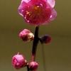 やっと庭の梅花が咲く!