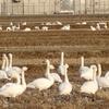 """新幹線E2系""""とき"""" を見送った白鳥は、ハクチョウ?コハクチョウ?"""