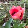 今朝はチューリップが咲いた