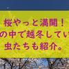 長野もやっと春本番。桜が満開です。テントウムシが家の中で越冬していました。ついでにカメムシも。