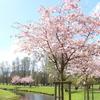 リガでお花見! Uzvaras parks(勝利公園)に出かけよう。
