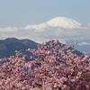 花さんぽ『河津桜を見に松田市の桜まつりへ』