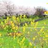 川霧と養老鉄道と桜