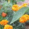 センチュウの対抗植物