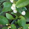 チェリーベッカーの白い玉が咲いてる
