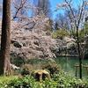 満開の桜と水辺 井の頭公園、善福寺川緑地、石神井公園を巡って歩く