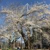 岐阜県観光大使の桜情報~まだまだ満開の桜が見れました。~
