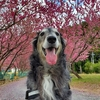 息子(大型犬)と浜松市天龍にある、道の駅・天竜相津「花桃の里」に行ってきました