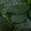 253  雨と葉