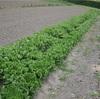 0618#アンダイビー収穫