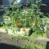トマト再放置の結果
