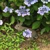 2017年 6月 紫陽花の頃  そして猪出現 うさぎ島(大久野島)旅行記まとめ