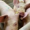 201230 新里の養豚場