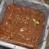 ツタンカーメンのエンドウ豆の苗が絶滅寸前であわてて温室対策。イレブンがソロになっちゃった。( ;∀;)