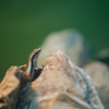 ヒガシニホントカゲ Plestiodon finitimus