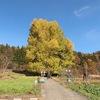 樹齢500年!長野県の天然記念物 飯山市「神戸のイチョウ」